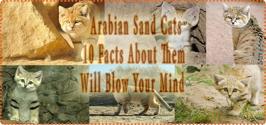 Arabian Sand Cats Look Like Any Other Cats but These 10 Facts about Them Will Blow Your Mind