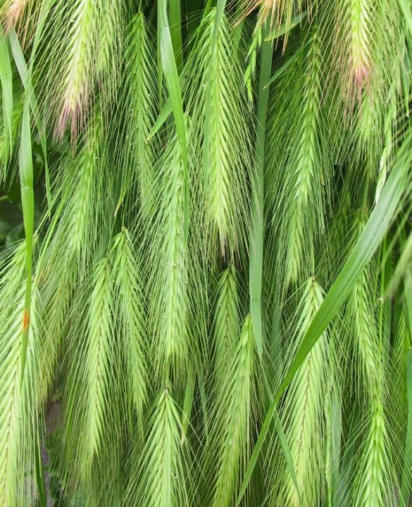 Foxtails Are Thus Named Because Of The Way Their Stalk Looks When A Seed Forms At Its Tip Like Foxs Tail Awns Fall