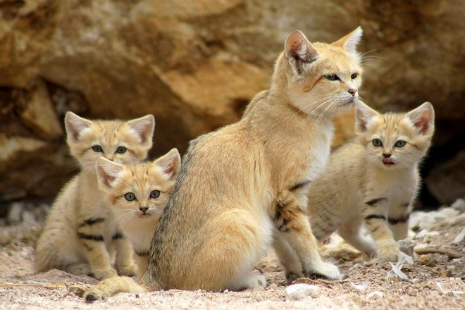 Sand cats have similarities with domestic cats