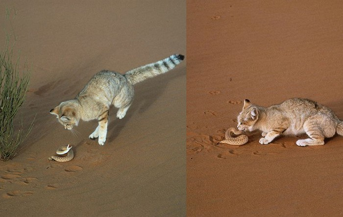 These Arabian sand cats are really tough